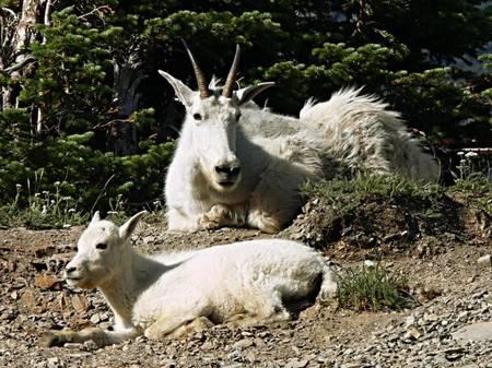 mountain goats jasper