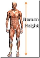 human_body-height