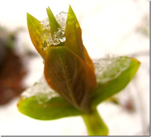 Spring_buds_snow_calgary_3