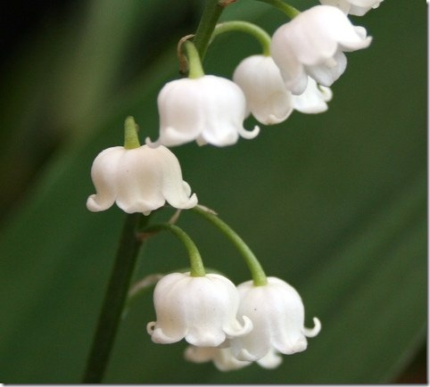 Finland - Lily-of-the-valley