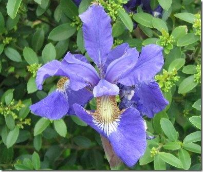 France iris