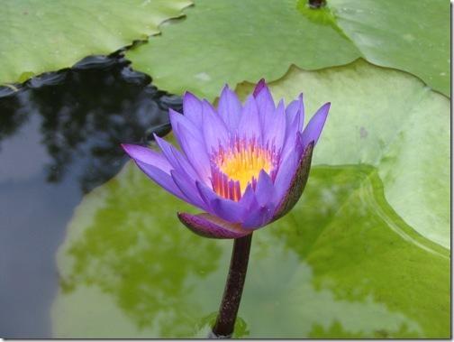 lotus Egypt flower