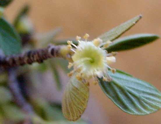 mahogany-flower