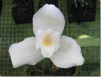 White Nun Orchid